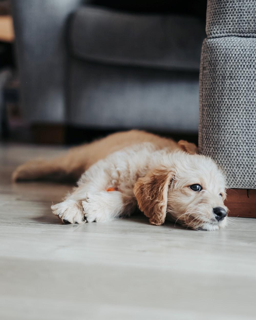 brown puppy lying beside sofa