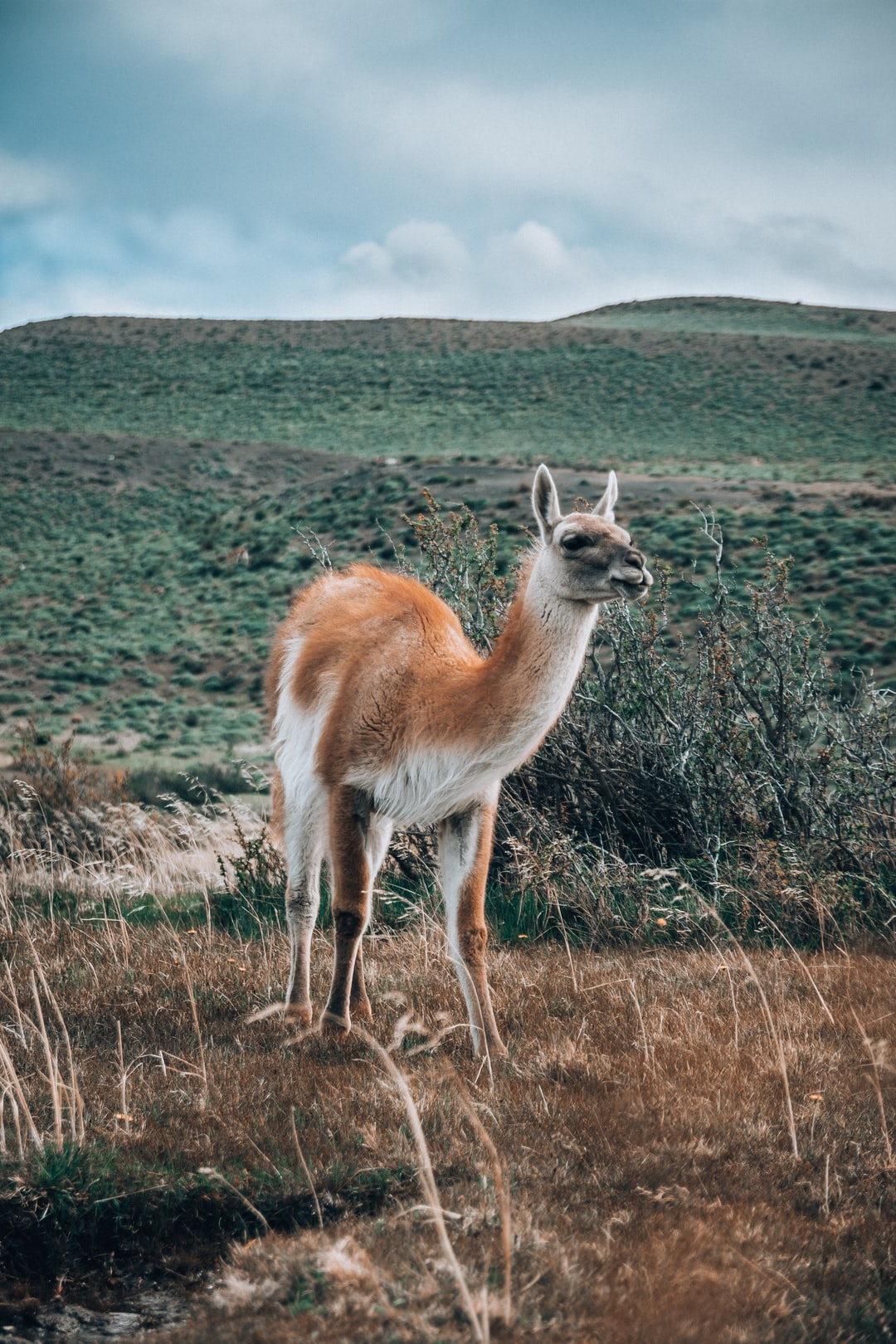 with a Guanaco face to face, what an incredible creation of mother earth, Patagonia