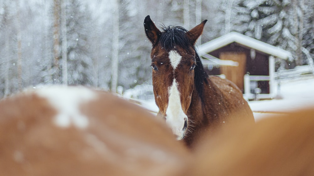 selective focus photography of brown-and-white horses during snow