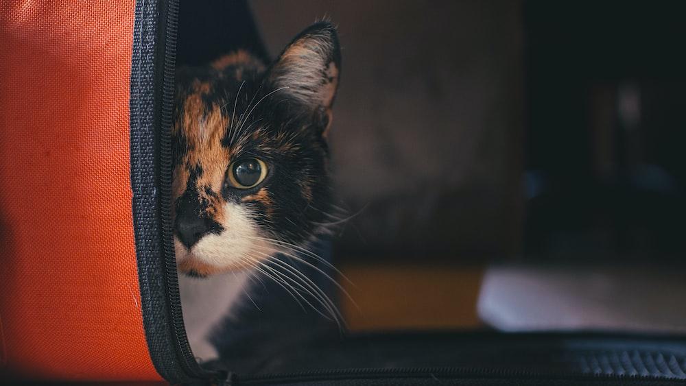 black, orange, and white tabby kitten in pet carrier