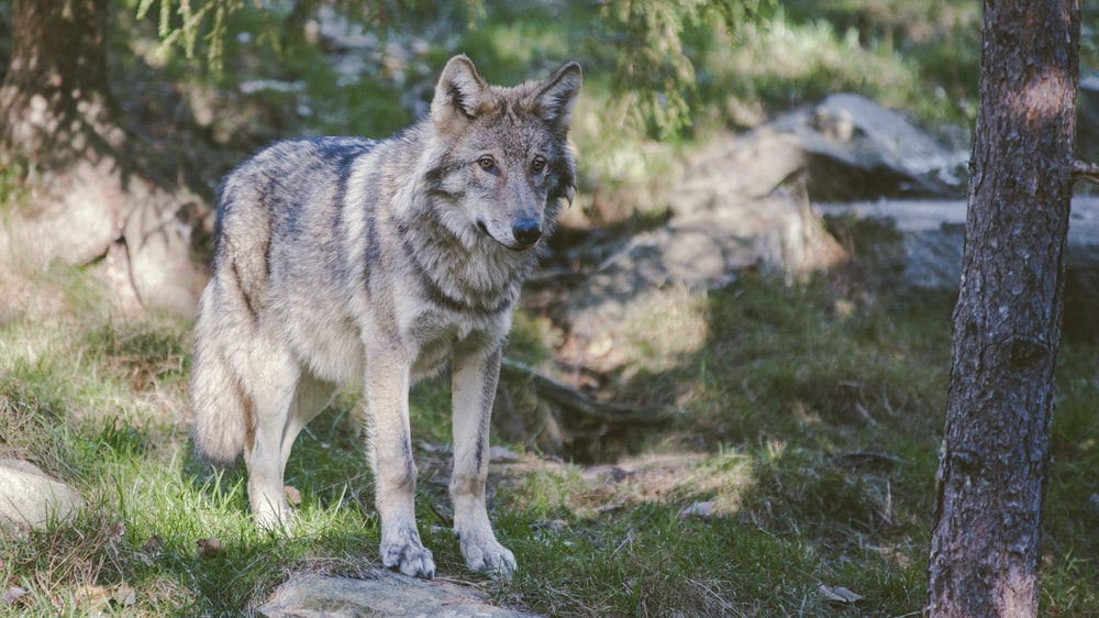 gray and black wolf standing near tree trunk during daytime