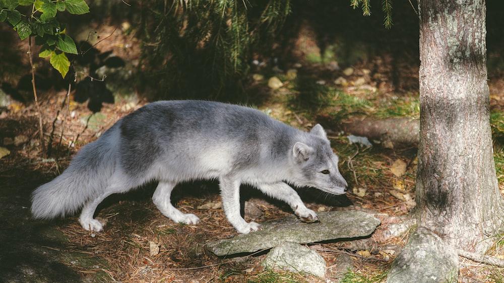 white and gray wolfdog near tree