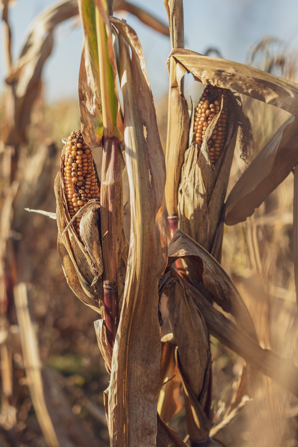 selective focus of brown corn field during daytime