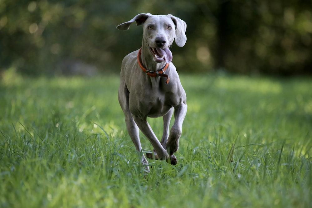 grayhound running on grass field