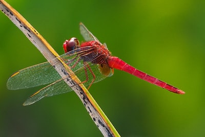red dragonfly neo-impressionalism zoom background