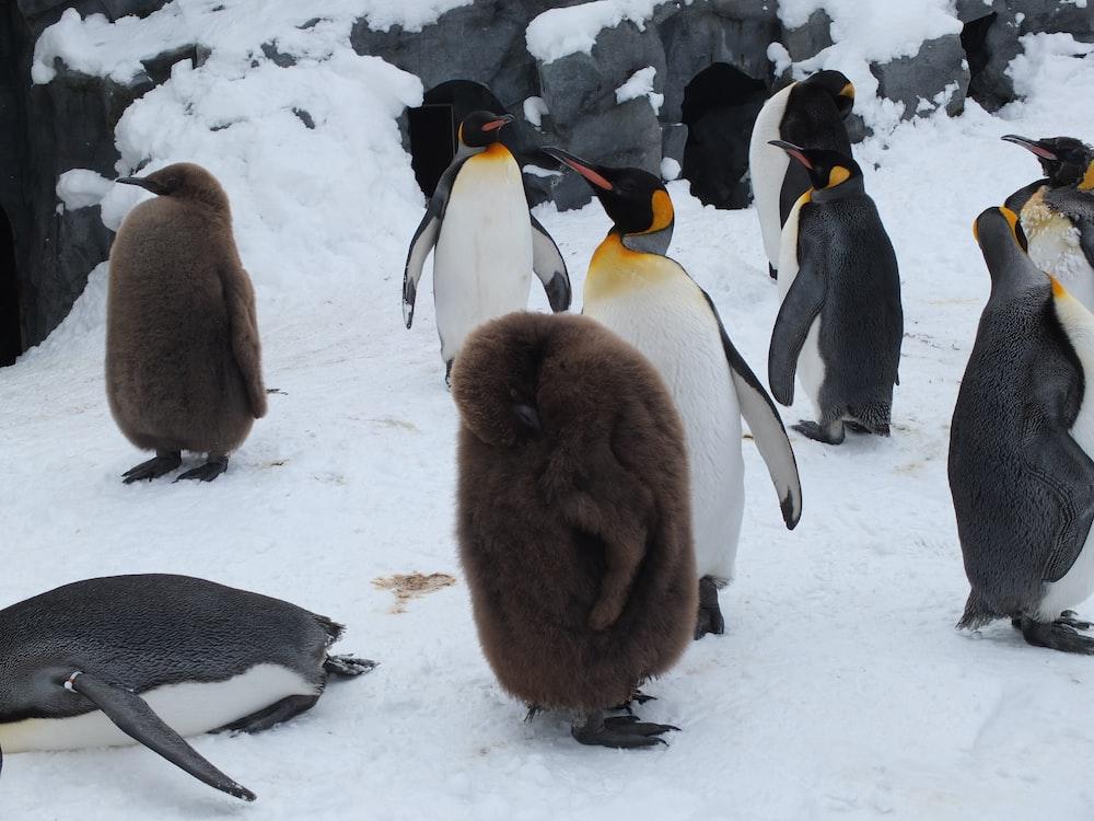 flock of penguin