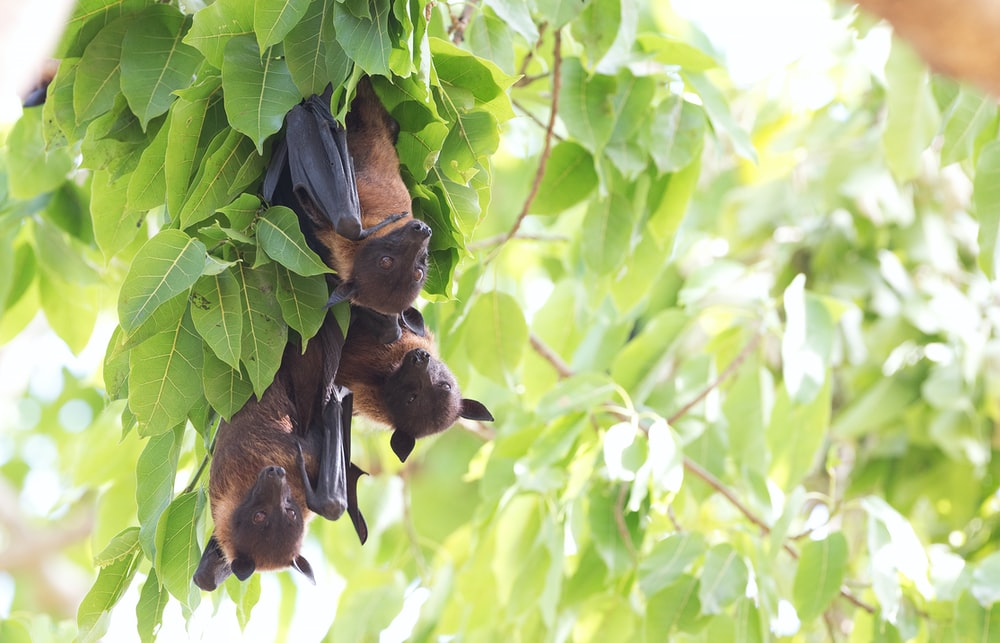 three brown bats on green leaf plant