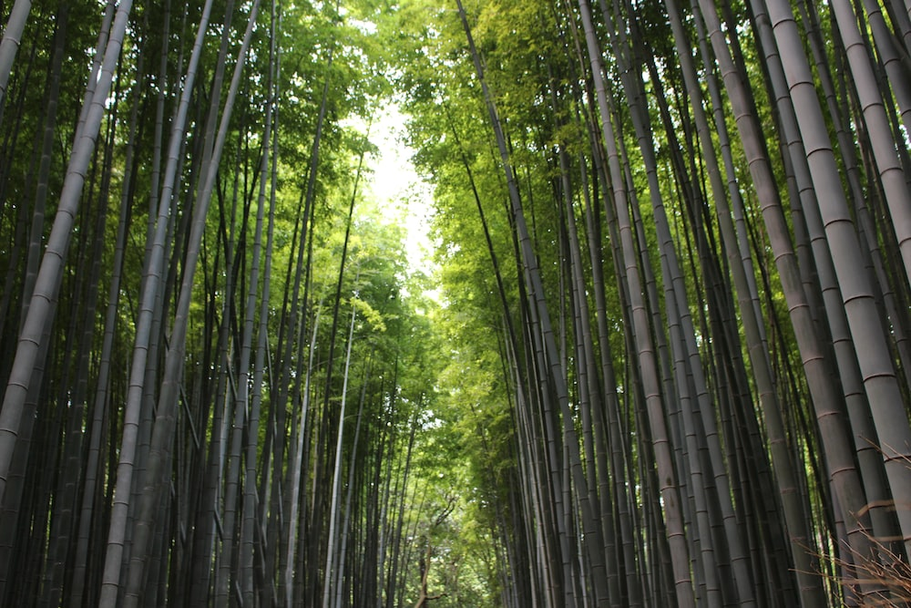 pathway surrounded by tall bamboo grass during daytime