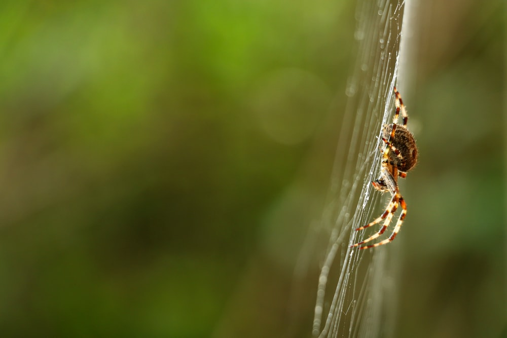 brown multi-legged spider on a cobweb