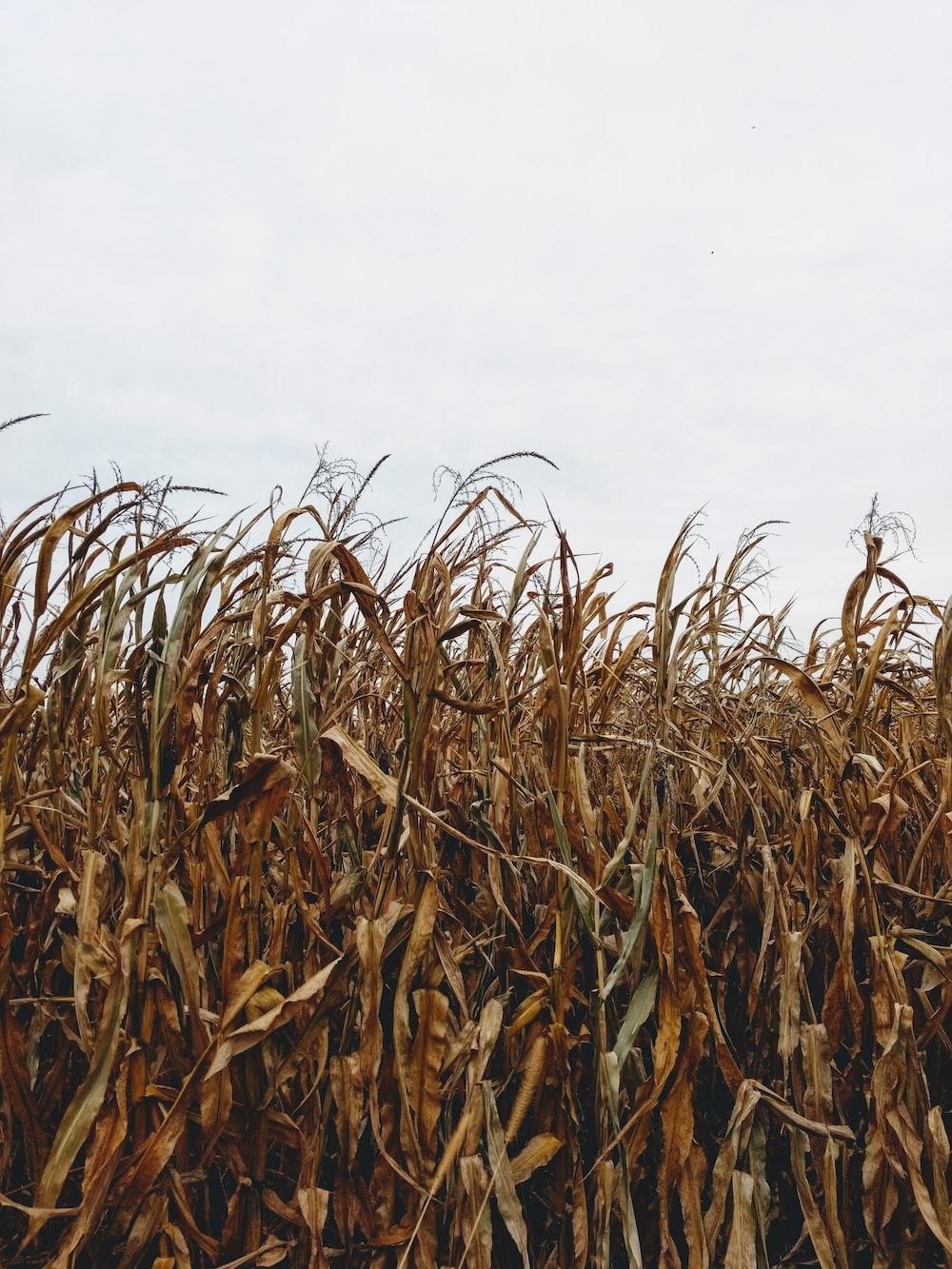 brown corn field under white skies