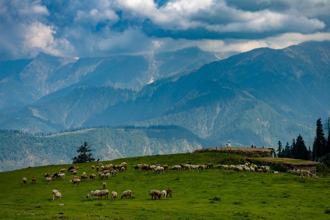 Cattles at Paye Meadows, KPK, Pakistan.