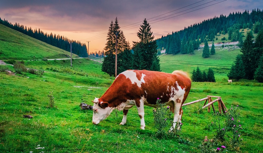 brown and white cow eating grass