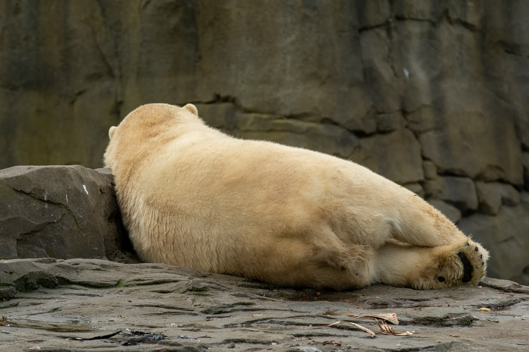 a relaxed polar bear in the zoo