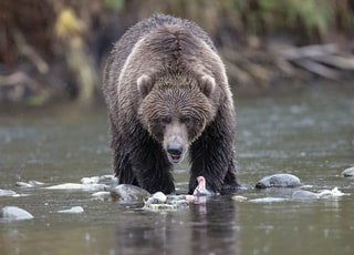 grizzly bear on creek