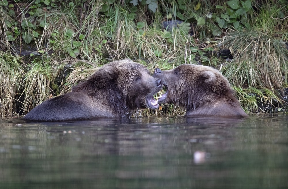 two animals biting each other in water