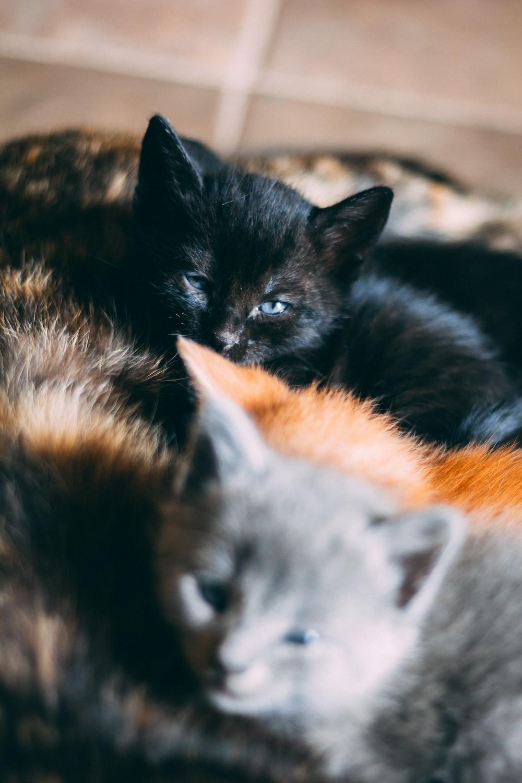 black, orange, and gray kittens