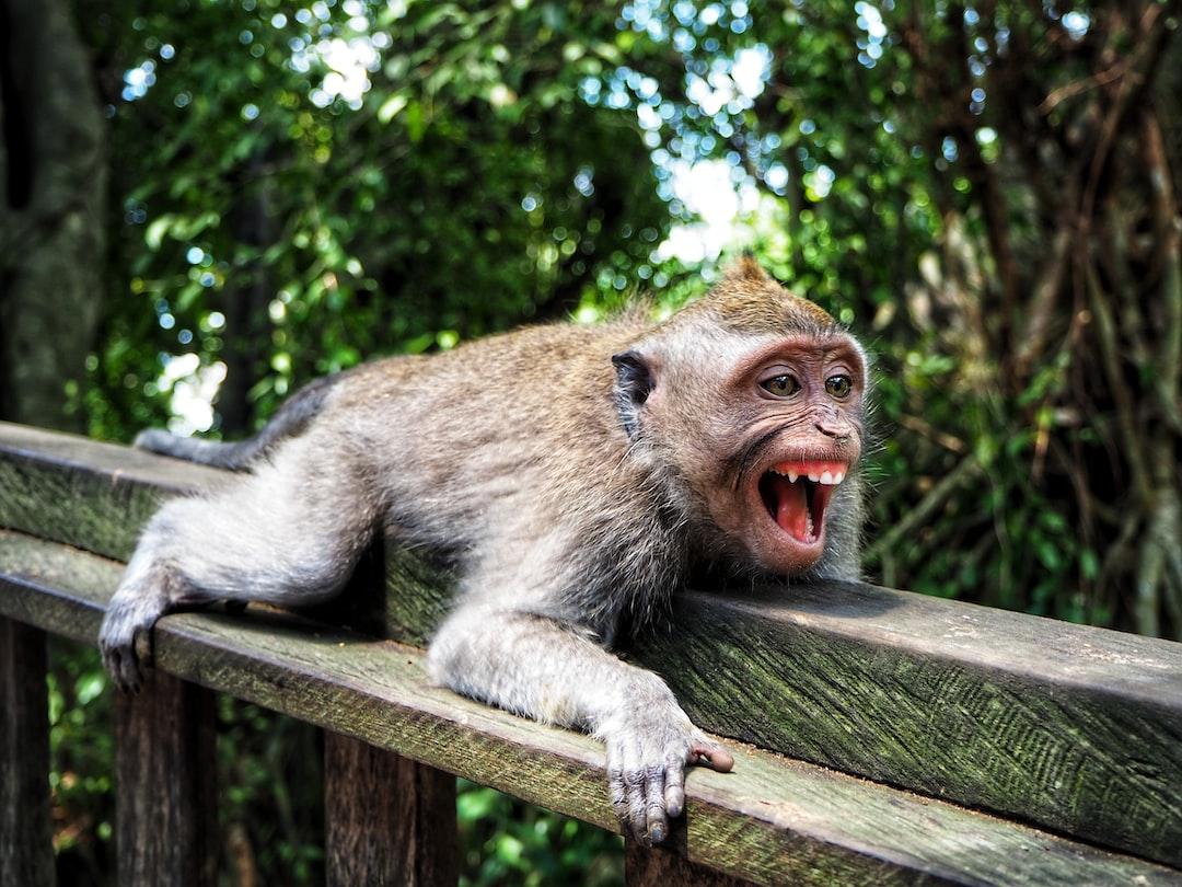 Little monkey showing his teeth at Monkey Forest, Ubud, Bali.