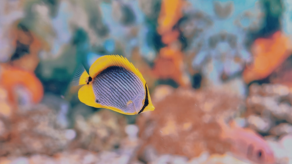 yellow, blue, and black striped fish