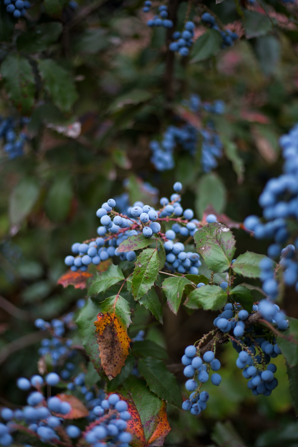 selective focus photography of blue fruits