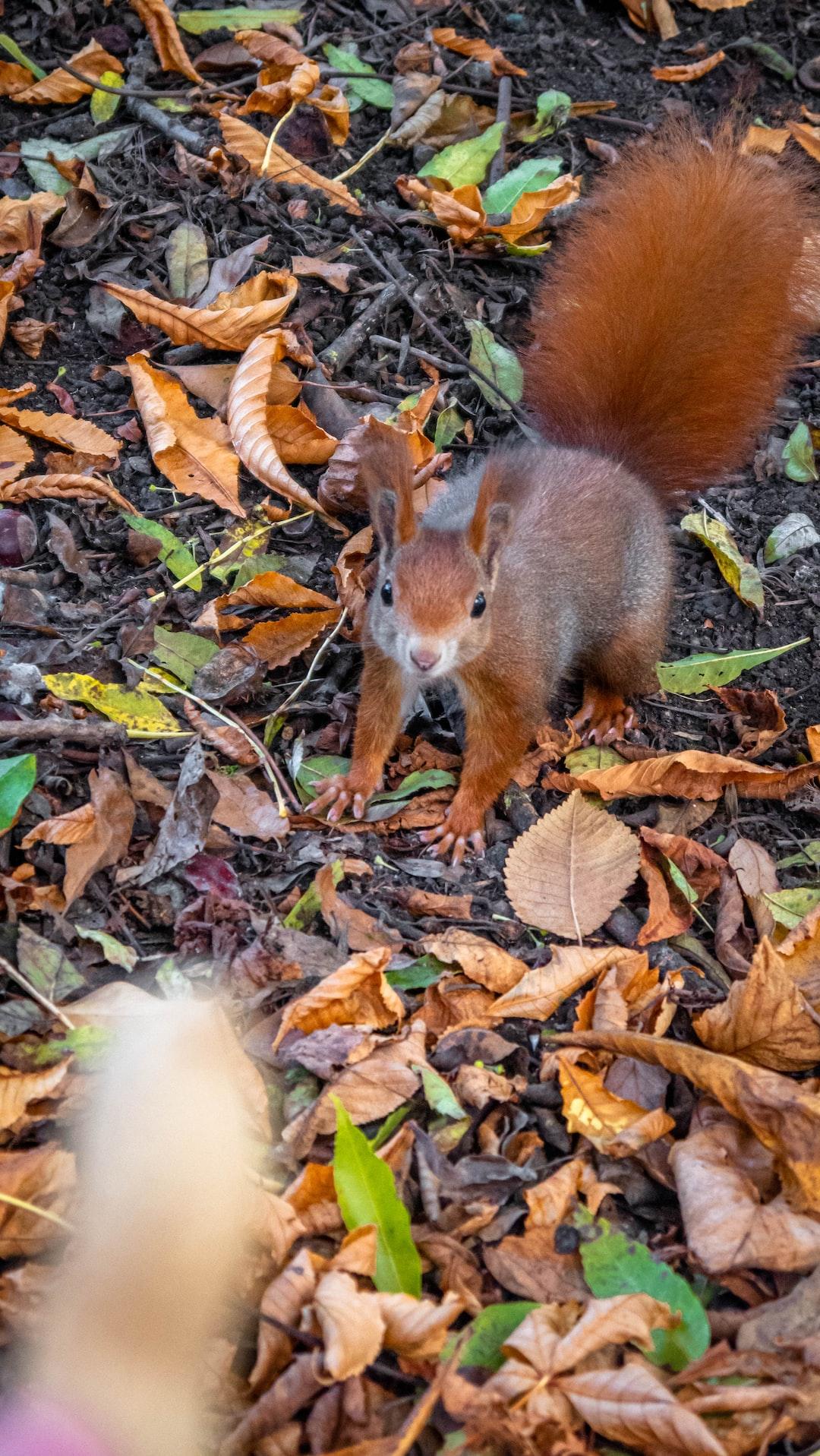 A Orange Squirrel Looking At The Peanut!
