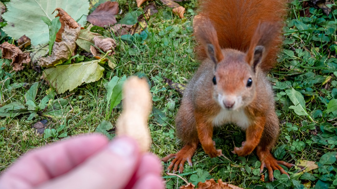 A Orange Squirrel Looking At The Peanut!