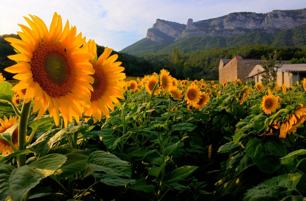 blooming sunflower field near house viewing mountain under white and blue sky during daytime