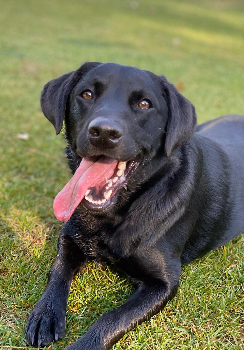 black dog lying on green grass