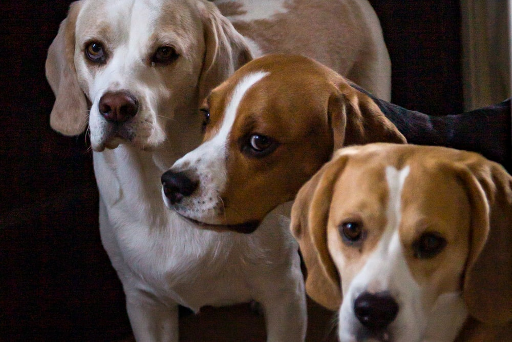 three adult lemon and tricolor beagles