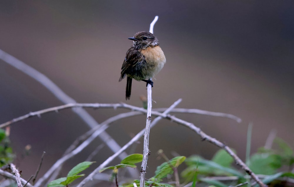 brown sparrow perching on a twig