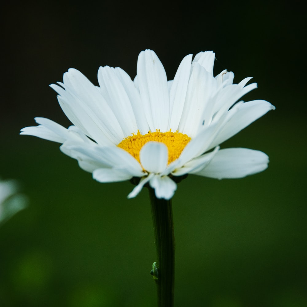 close up photography of white daisy flower
