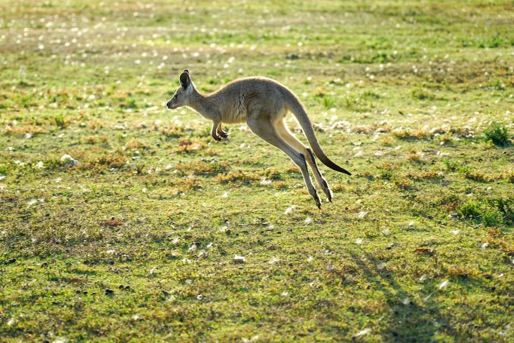 kangaroo jumping during daytime