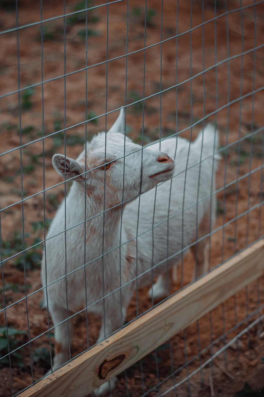 white goat near fence