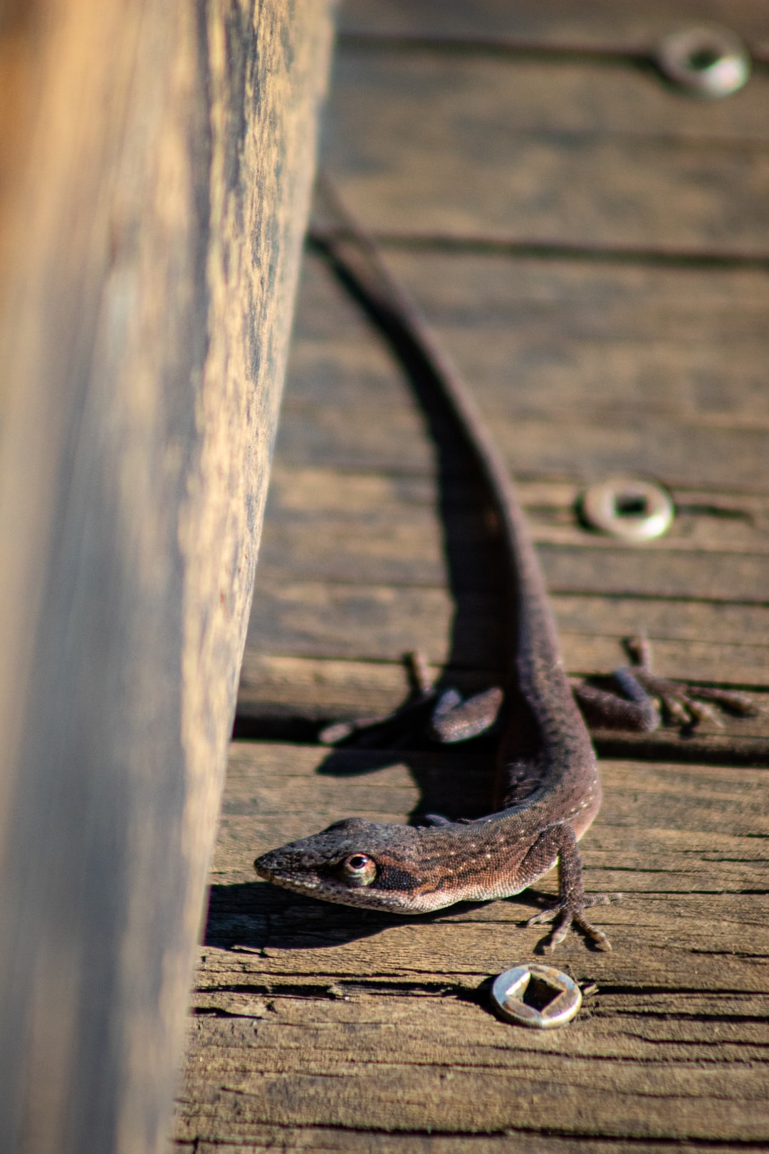 A lizard on the boardwalk at the Blue Elbow Swamp in Orange, TX.