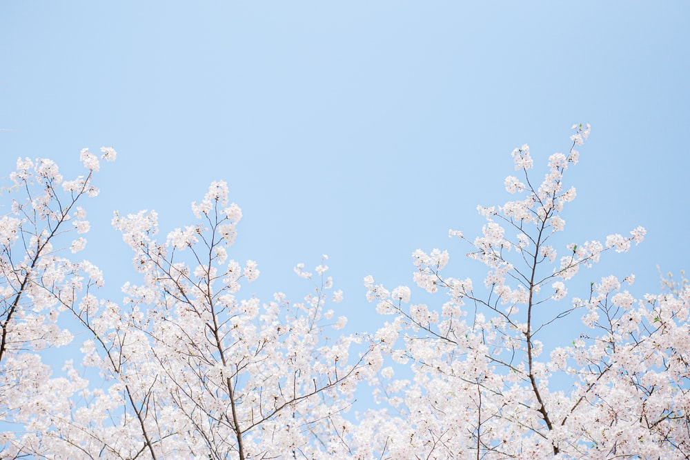 shallow focus photo of white cherry blossom