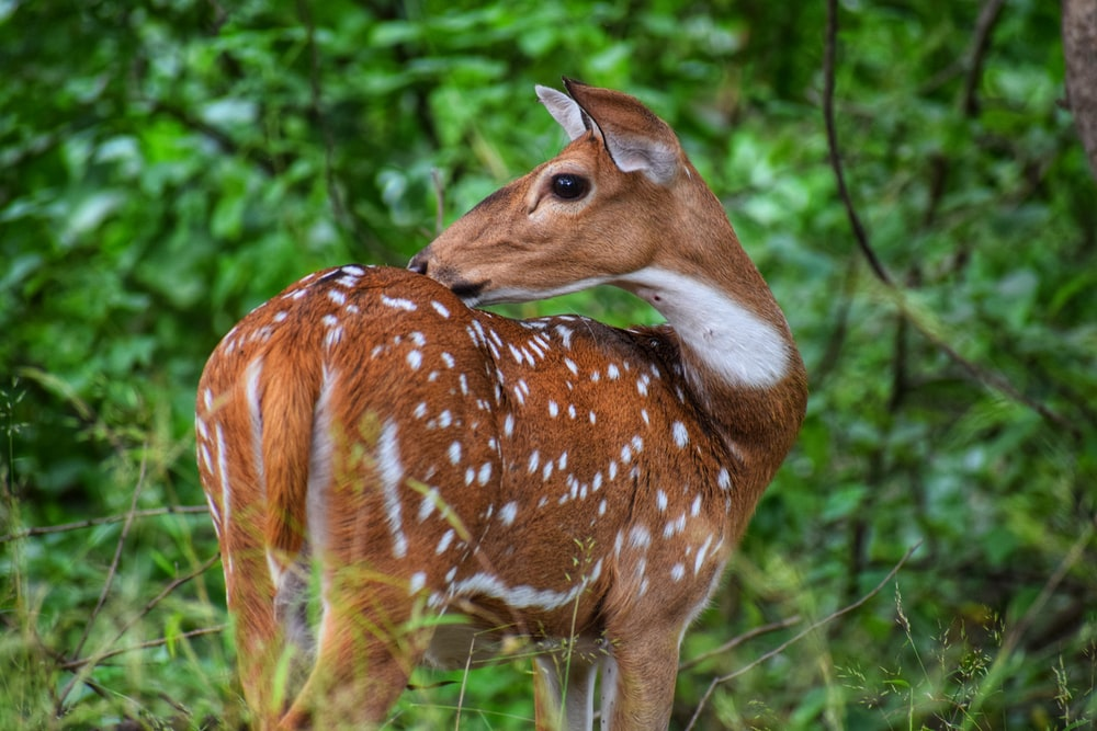 photo of brown and white deer