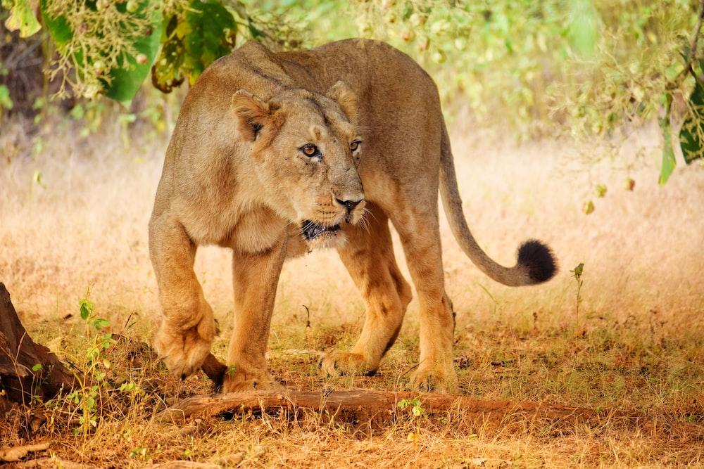 lioness under tree