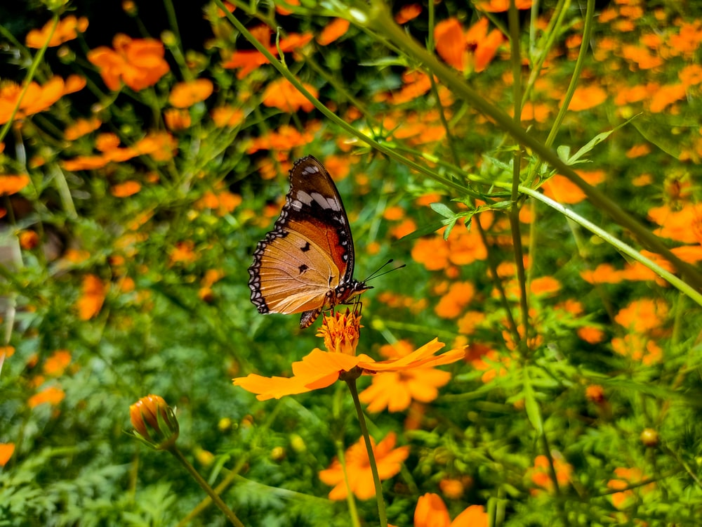 Queen butterfly perching on yellow flowers