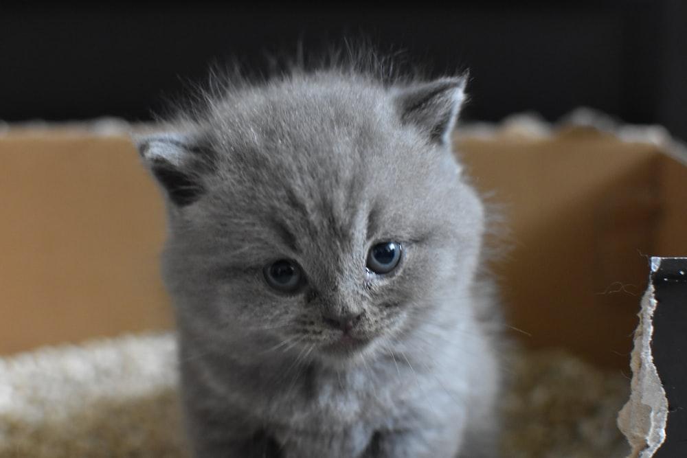 gray Persian cat