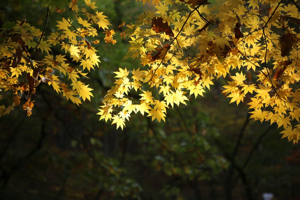 yellow leaf plant