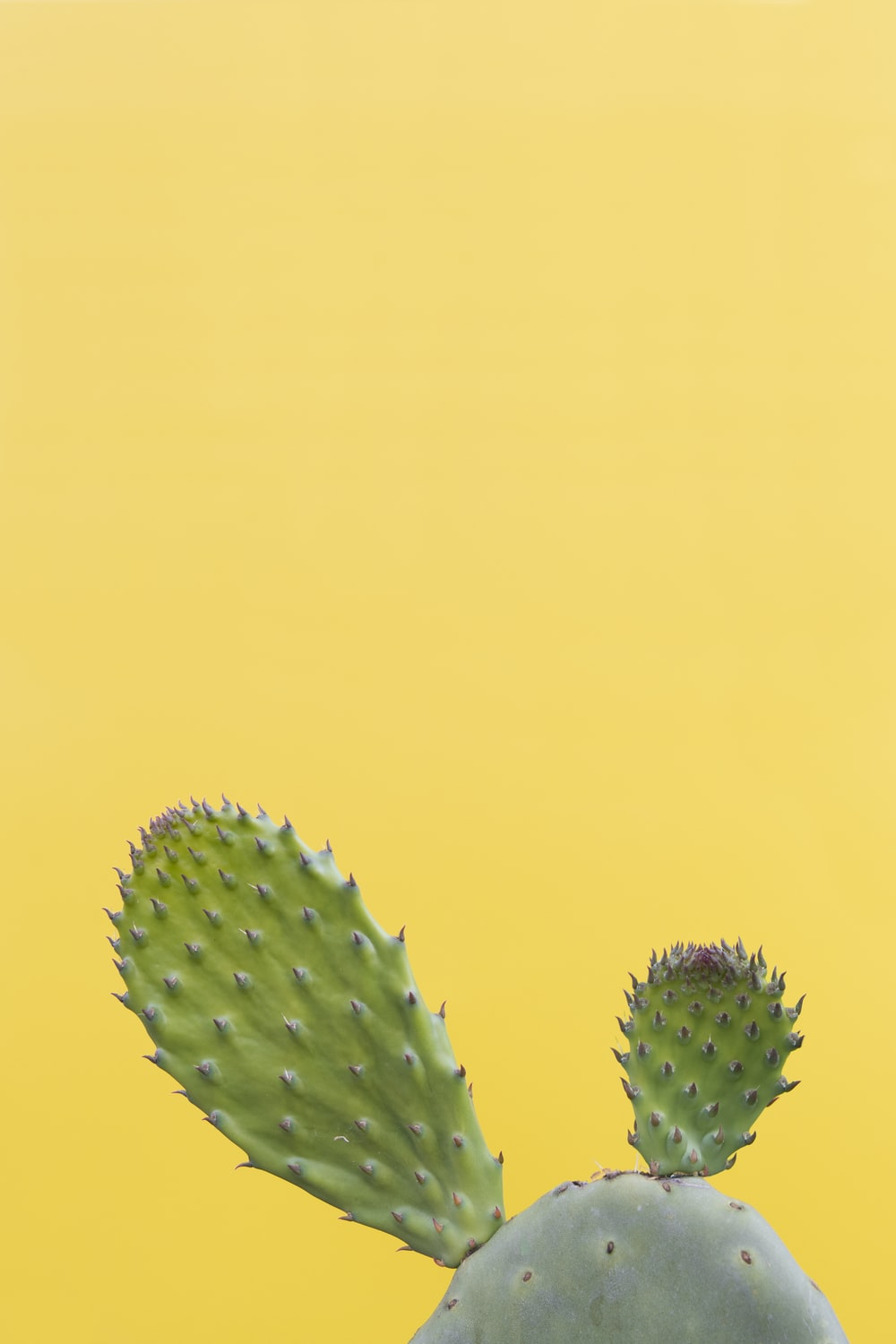 green cactus in yellow background