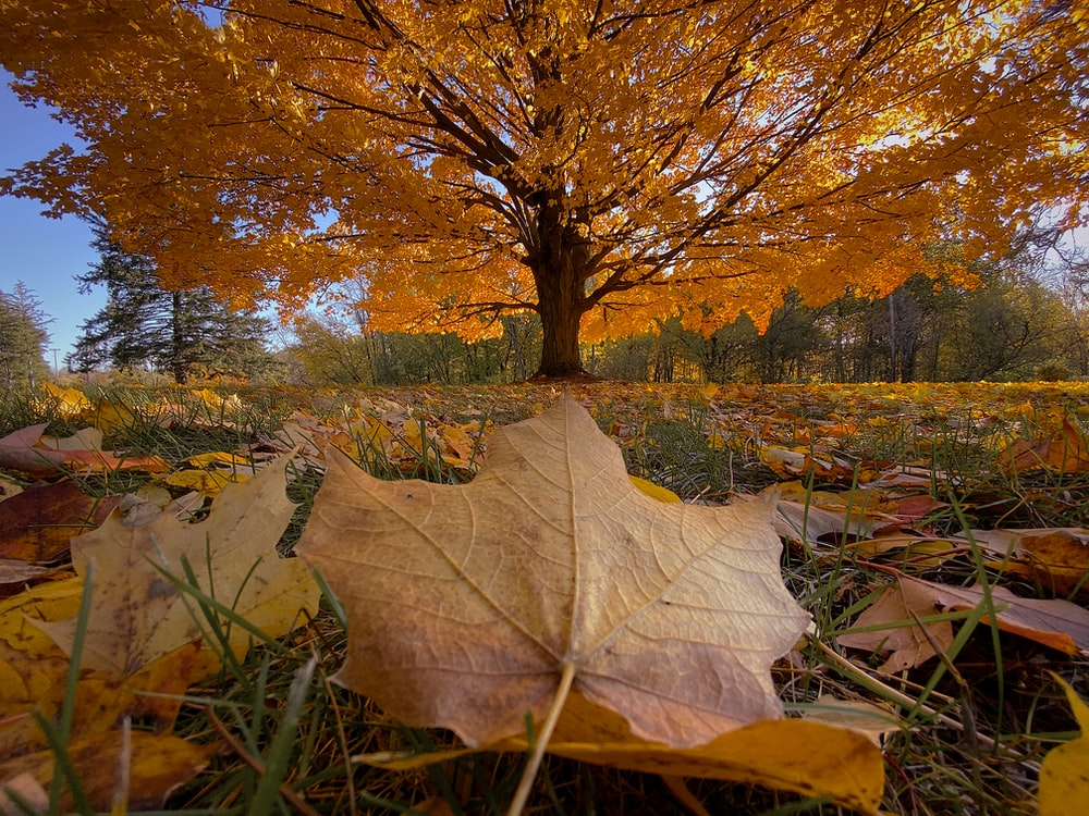 brown leaves on grass field