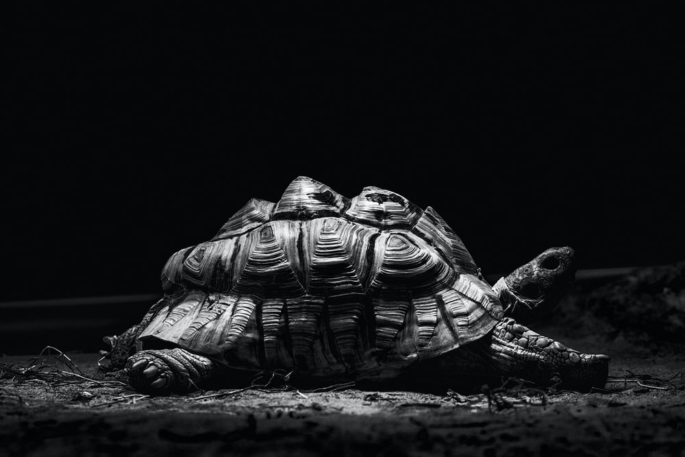 grayscale photography of turtle