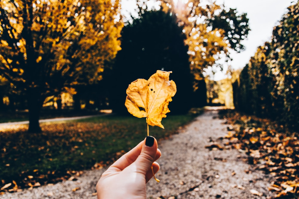 person holding yellow dried leaf