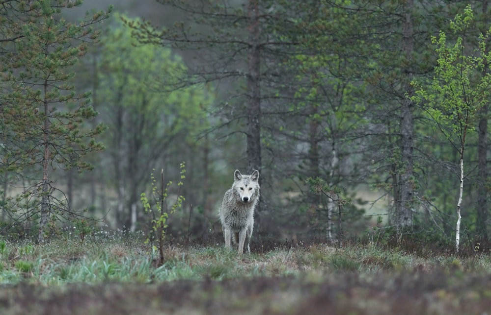 white wolf between trees