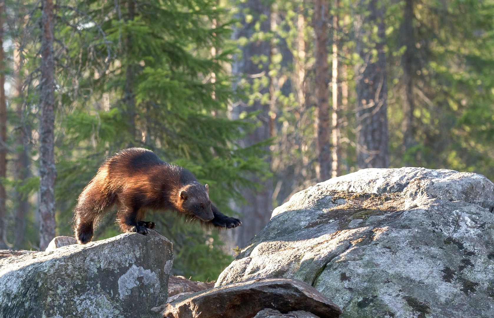 US Officials: Climate Change Not a Threat to Rare Wolverine
