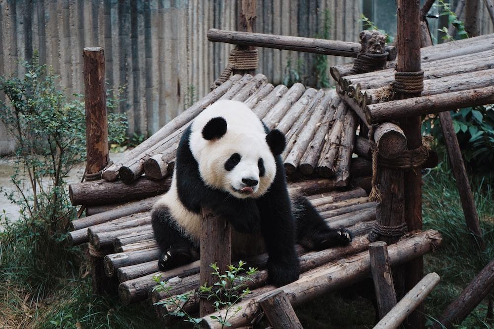 white and black Panda