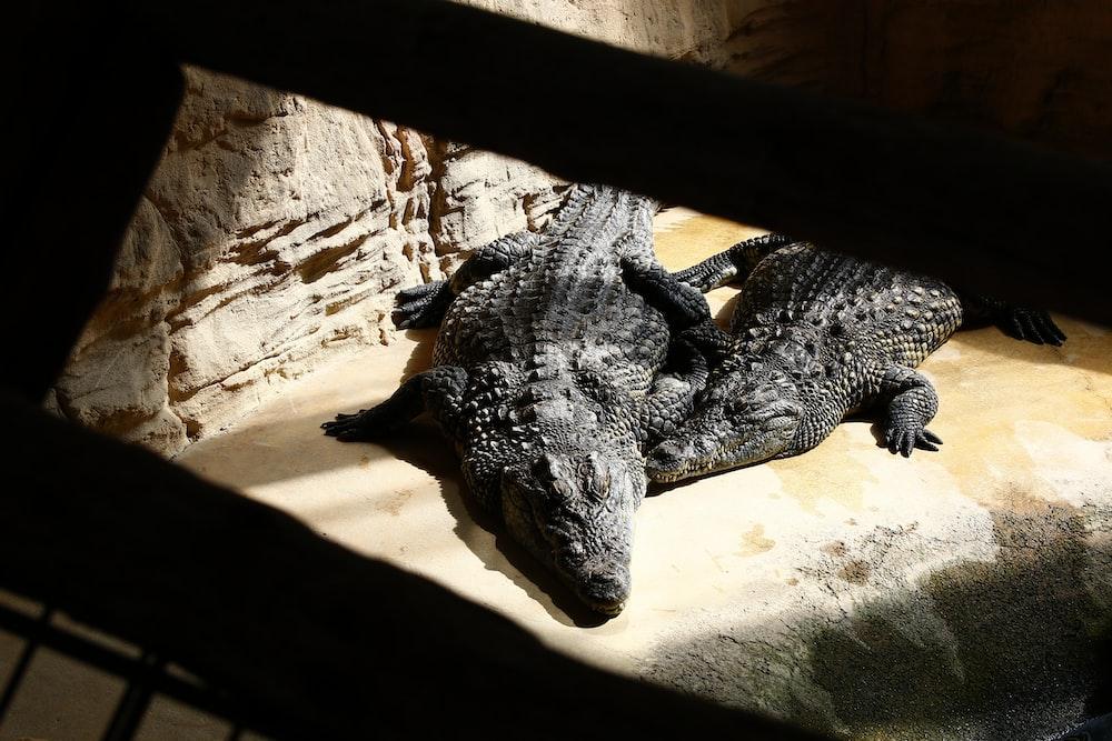 two crocodiles