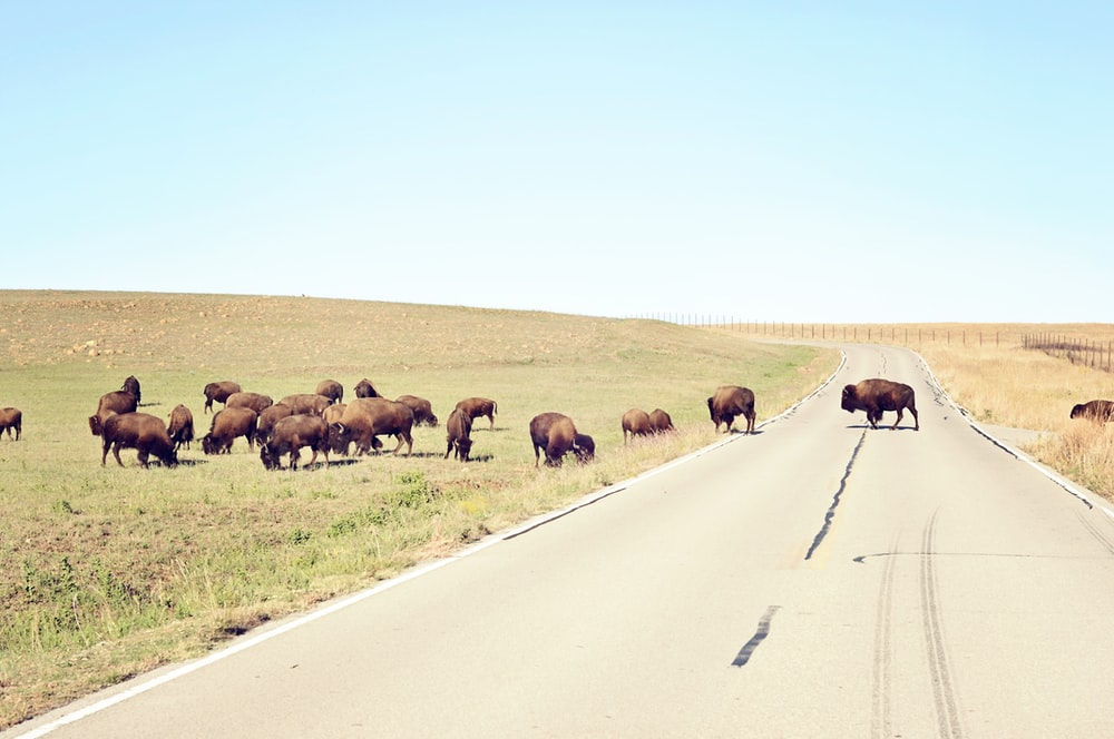 herd of brown bison