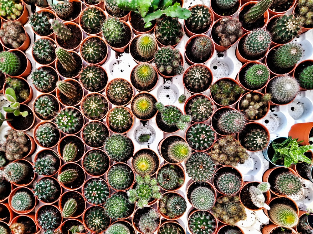 cactus plant lot