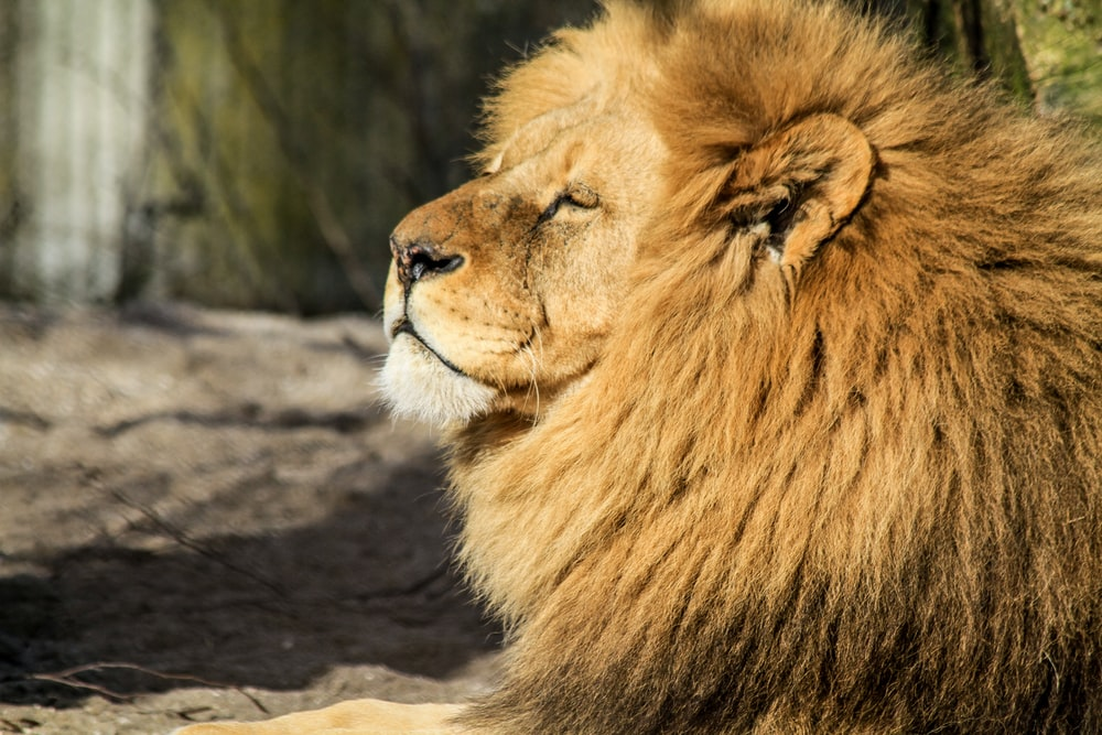 brown lion on prone position during daytime